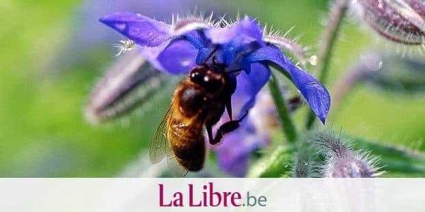 Apis mellifera / Abeille sur bourrache / Borago officinalis. ©HEGO L/HorizonFeatures/Leemage Reporters / Leemage
