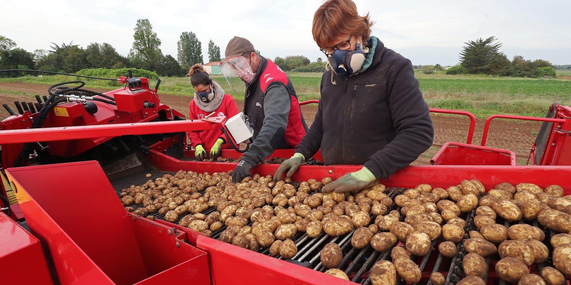 La rentabilité des pommes de terre belges a fortement chuté en 2020