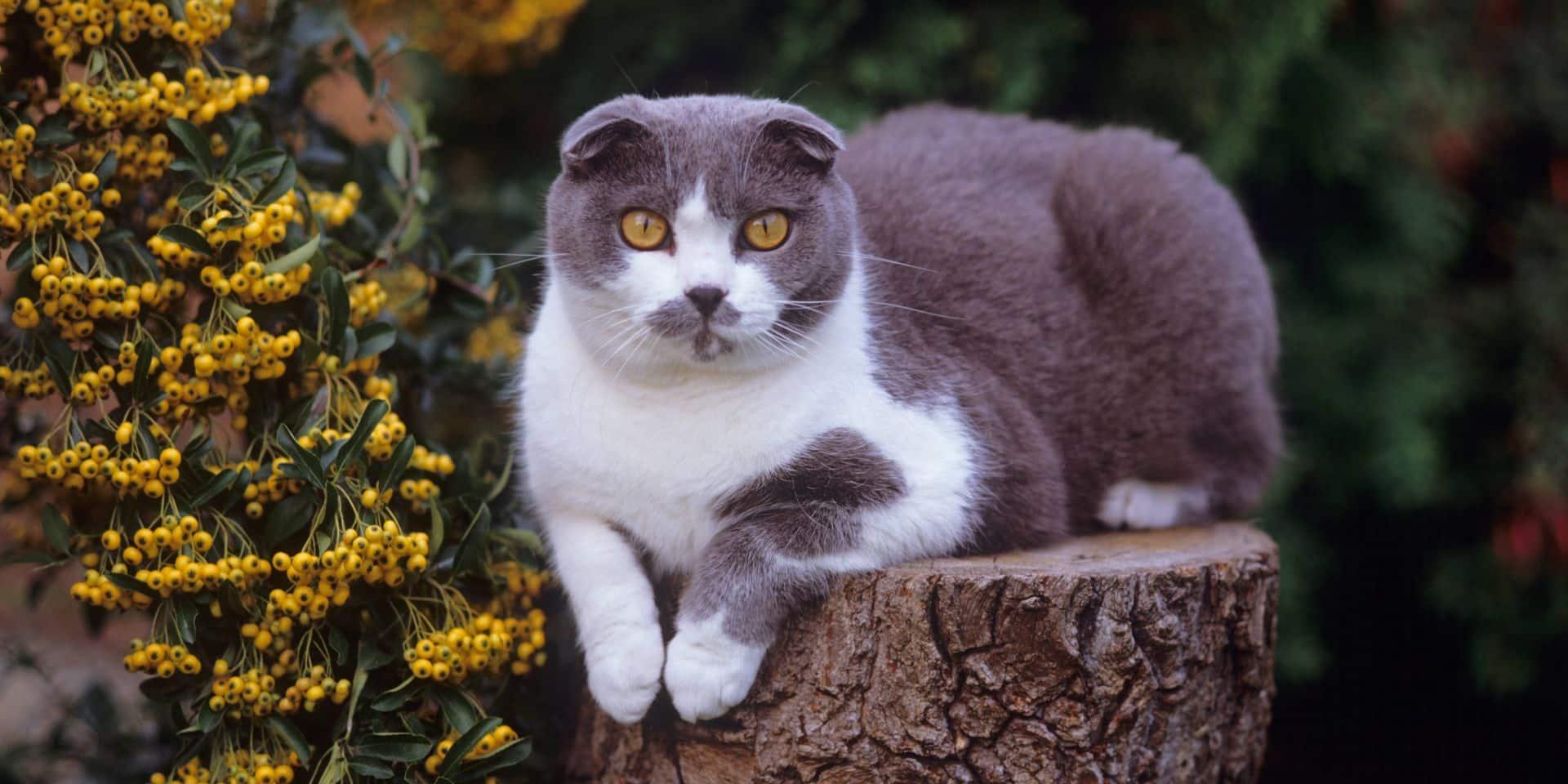 un des chats les plus chers du monde