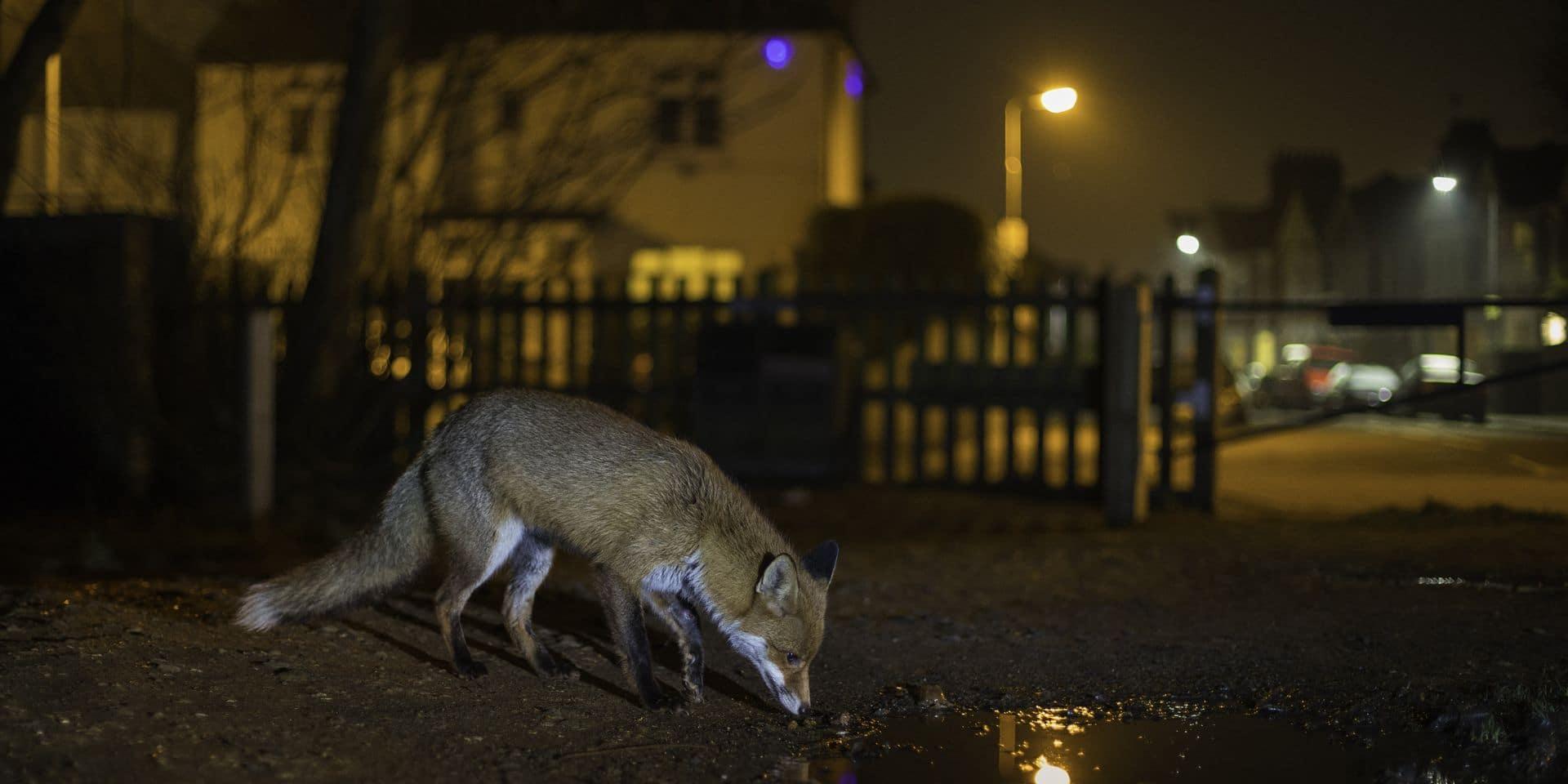 """Bruxelles: un """"maillage noir"""" pour arrêter de nuire à la faune nocturne"""