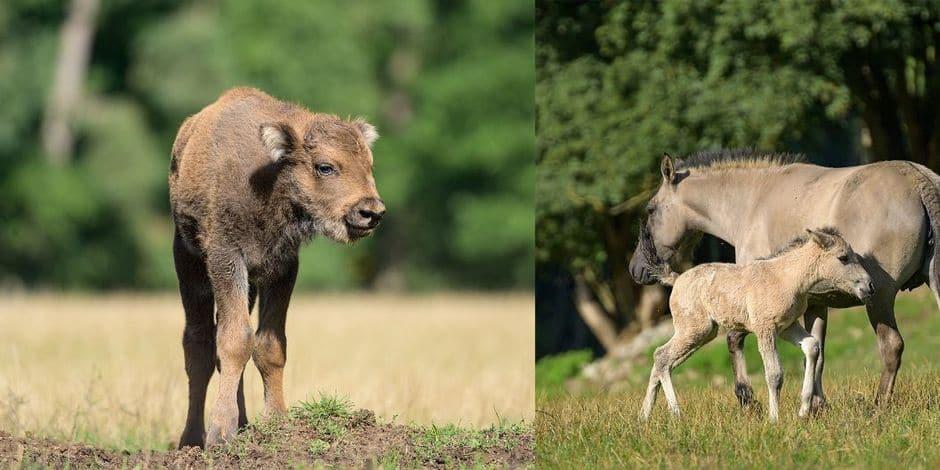 Un petit bison et un petit tarpan sont nés à Han