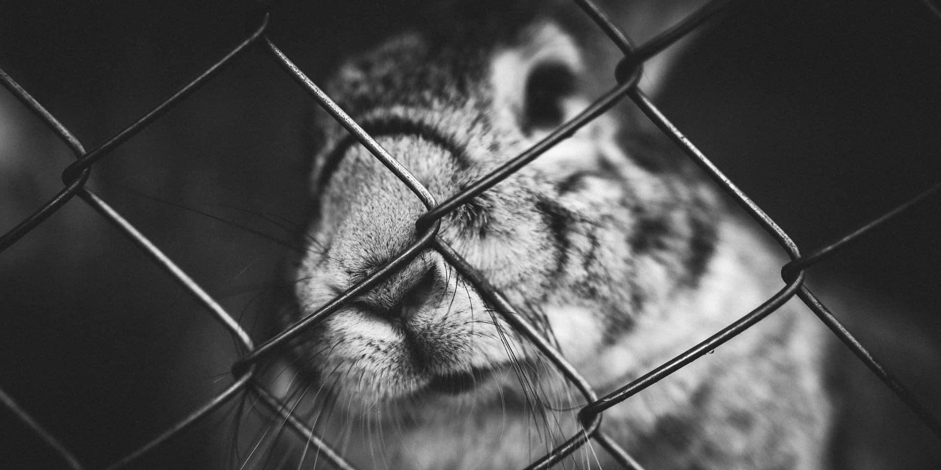 """Des antispécistes s'introduisent dans un élevage belge et libèrent des lapins: """"On sait ce qu'on risque, mais ce n'est rien comparé à toute une vie en cage"""""""