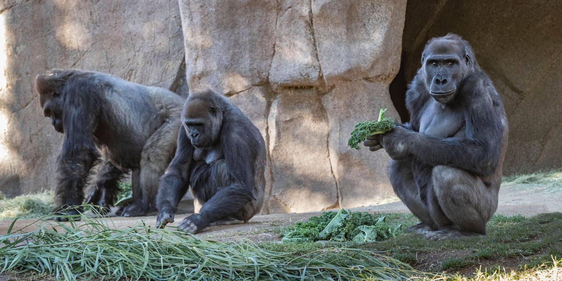 Une première: des gorilles d'un zoo positifs au coronavirus et placés en quarantaine
