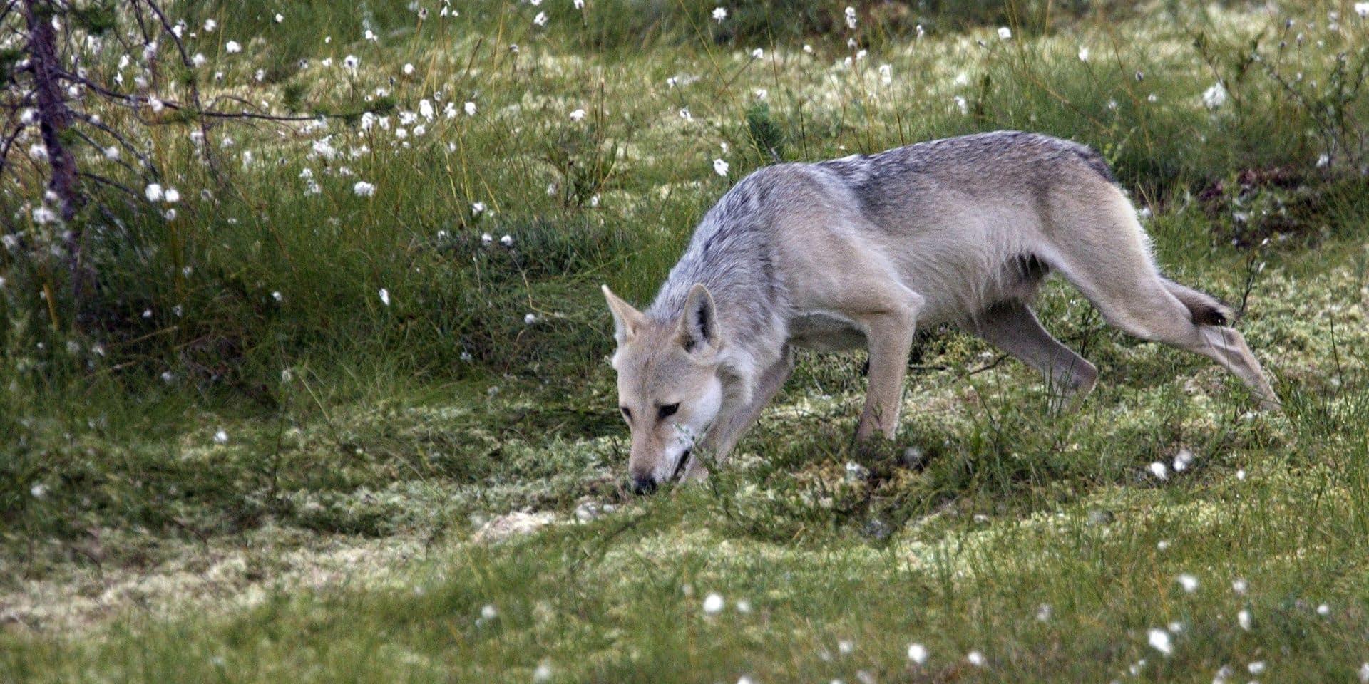 Le loup des repéré dans les Hautes Fagnes a un prénom !