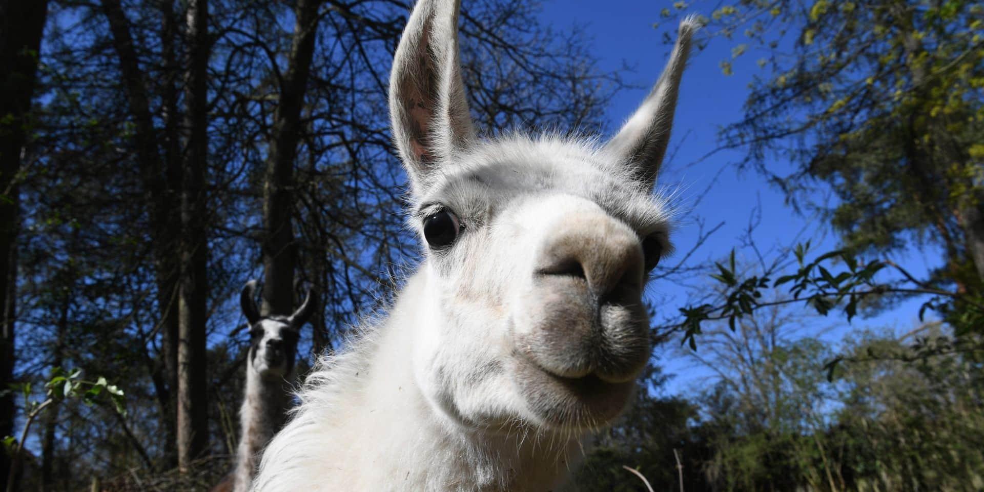 Des Belges découvrent un anticorps pour contrer le coronavirus chez un lama