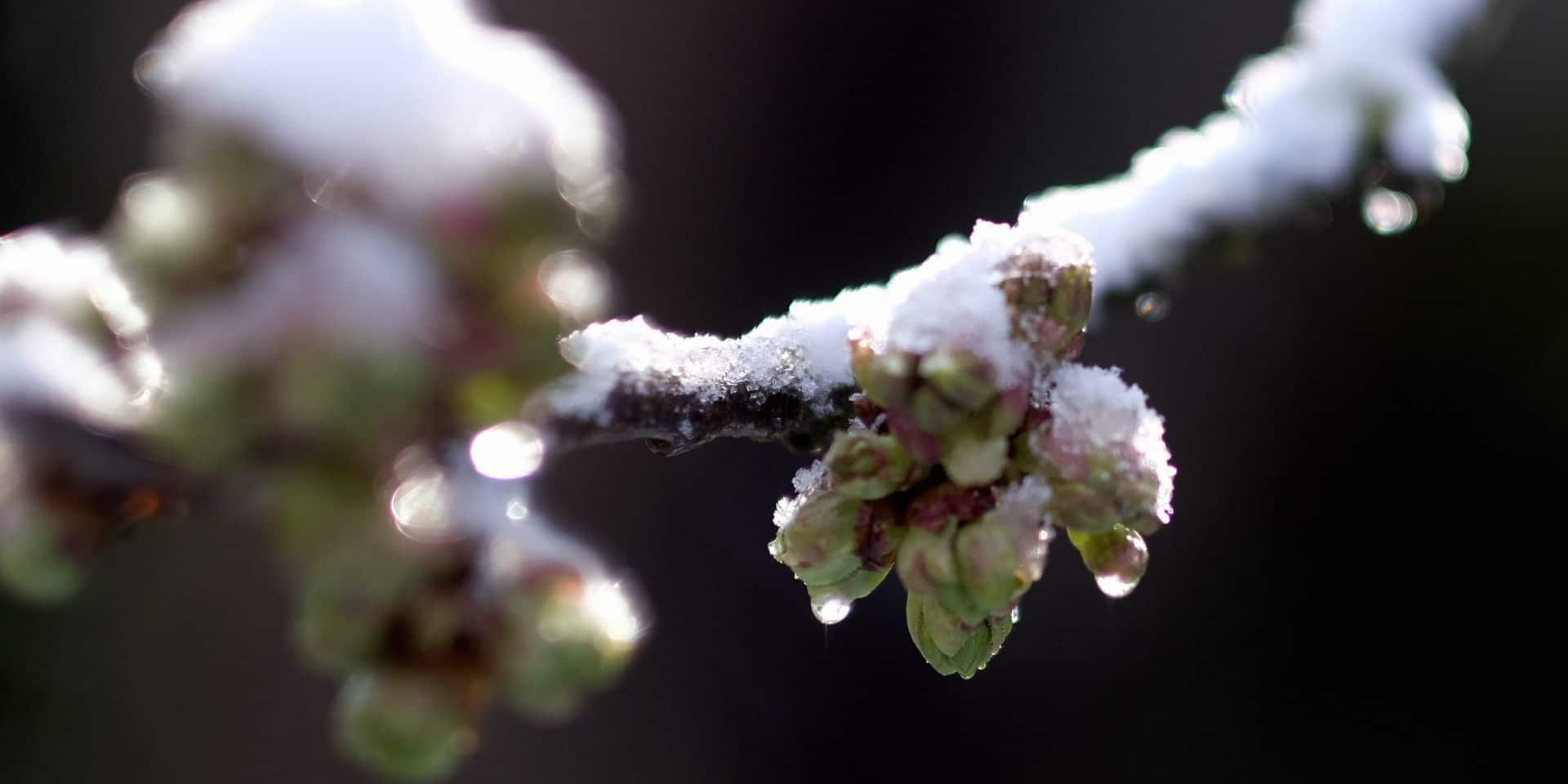 -1 °C, -3 °C, -5 °C ? Les producteurs de fruits wallons surveillent la baisse du mercure avec angoisse
