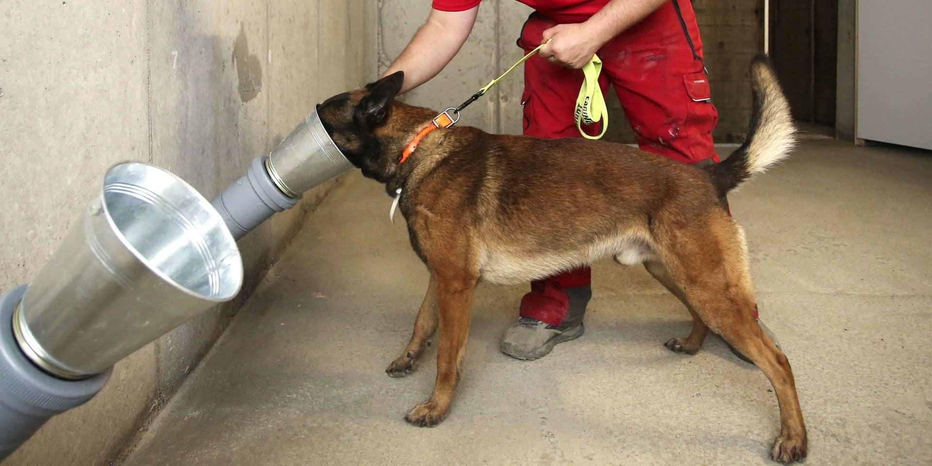 Comment des chiens allemands vont servir à détecter les cas de coronavirus