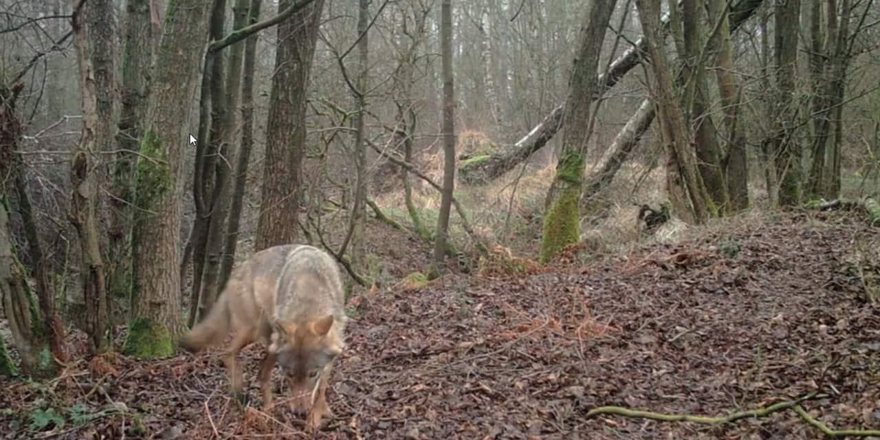 Premières images en plein jour de Noëlla, la louve habitant dans le Limbourg