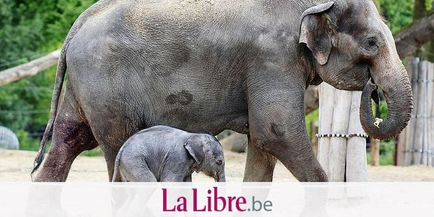 20150522 - BRUGELETTE, BELGIUM: Handout picture released on 20150522, by Pairi Daiza animal park shows the female baby elephant, born on Wednesday 20 May 2015, early in the night, in Pairi Daiza zoo in Cambron-Casteau, Brugelette. The mother of the elephant, Farina (11) arrived from Hanover zoo, Germany, last autumn and the father Nikolai is still in Hanover. BELGA PHOTO HANDOUT PAIRA DAIZA