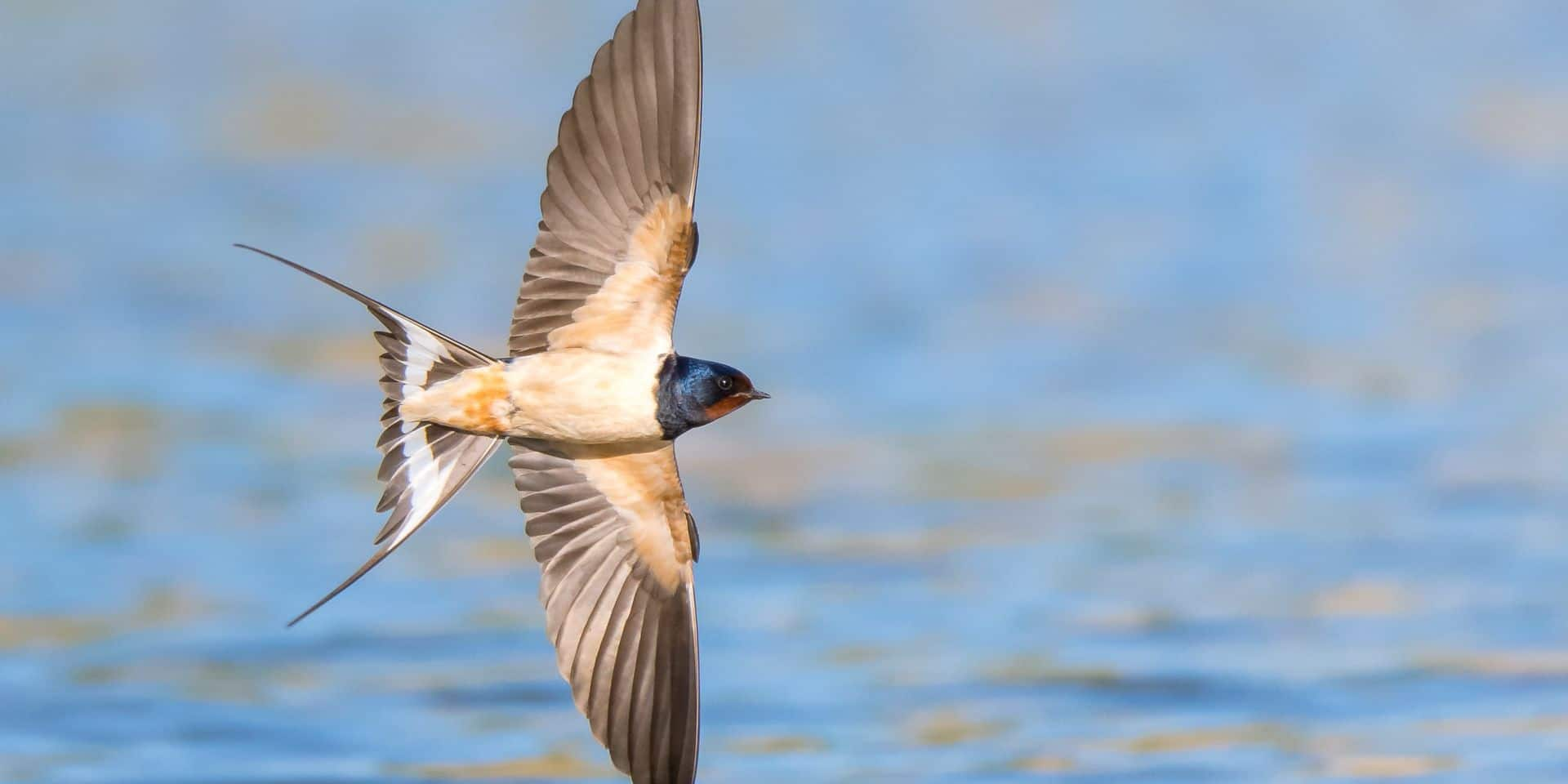 Barn,Swallow,(hirundo,Rustica),In,Flight,Over,The,Lake
