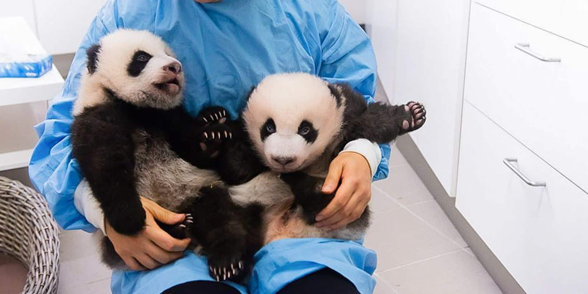 Les bébés pandas du parc Pairi Daiza seront visibles durant les fêtes de fin d'année