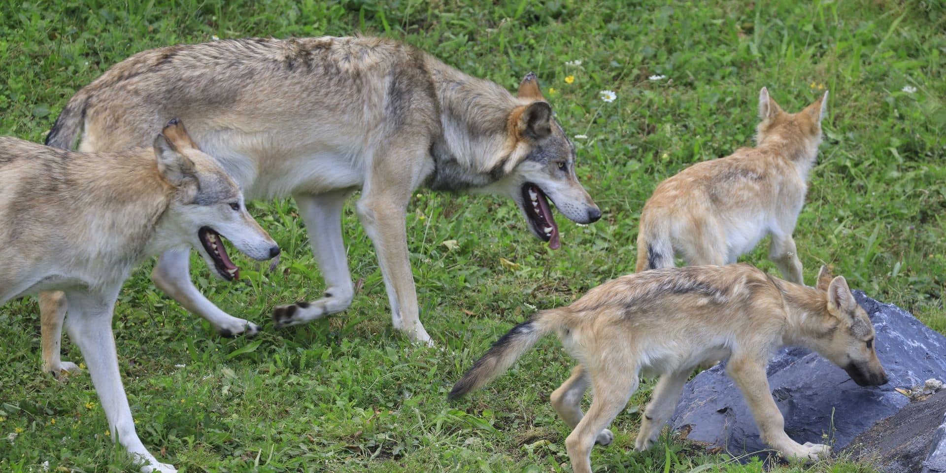 Une jeune louve s'échappe brièvement de Pairi Daiza